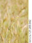 Колос ржи (Secale cereale) Стоковое фото, фотограф Алёшина Оксана / Фотобанк Лори