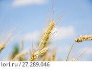 Купить «Колосья ржи на фоне голубого неба (Secale cereale)», фото № 27289046, снято 5 июля 2010 г. (c) Алёшина Оксана / Фотобанк Лори