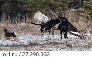 Купить «Black Grouse (Lyrurus tetrix), males fighting at lek, Finland, April.», фото № 27290362, снято 25 апреля 2018 г. (c) Nature Picture Library / Фотобанк Лори