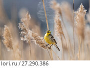 Купить «Citrine wagtail (Motacilla citreola), female in reeds, Finland, May.», фото № 27290386, снято 18 августа 2018 г. (c) Nature Picture Library / Фотобанк Лори