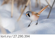 Купить «Bearded reedling / tit (Panurus biarmicus), male in snow, Finland, March.», фото № 27290394, снято 17 августа 2018 г. (c) Nature Picture Library / Фотобанк Лори