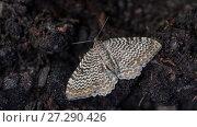 Купить «Scallop shell (Rheumaptera undulata) Finland, June.», фото № 27290426, снято 16 августа 2018 г. (c) Nature Picture Library / Фотобанк Лори