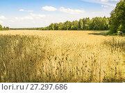 Купить «Посевная рожь на поле (Secale cereale)», фото № 27297686, снято 27 июля 2017 г. (c) Алёшина Оксана / Фотобанк Лори