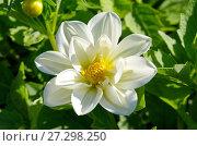 Цветок белой георгины (лат. Dаhlia) крупным планом. Стоковое фото, фотограф Елена Коромыслова / Фотобанк Лори