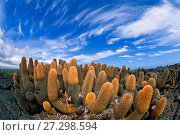 Купить «Lava cactus (Brachycereus nesioticus) pioneering plant first to colonise new lava flows, Galapagos Islands.», фото № 27298594, снято 16 августа 2018 г. (c) Nature Picture Library / Фотобанк Лори