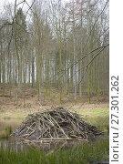 Beaver lodge, Spessart, Hesse, Germany, Europe. Стоковое фото, фотограф Michael Breuer / age Fotostock / Фотобанк Лори