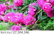 Купить «Large flowers of pink peonies lie on Earth.», видеоролик № 27304346, снято 23 июня 2017 г. (c) Володина Ольга / Фотобанк Лори