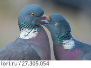 RF - Wood pigeon (Columba palumbus) pair preening one another, The Netherlands. (This image may be licensed either as rights managed or royalty free.) Стоковое фото, фотограф Edwin Giesbers / Nature Picture Library / Фотобанк Лори