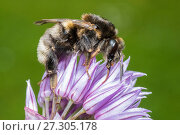 Купить «Tree bumblebee (Bombus hypnorum) dark form, feeding on Chive (Allium schoenoprasum) Monmouthshire, Wales UK, June.», фото № 27305178, снято 25 апреля 2018 г. (c) Nature Picture Library / Фотобанк Лори