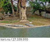 Купить «Лежащие крокодилы у воды», фото № 27339910, снято 3 января 2011 г. (c) Сергей Афанасьев / Фотобанк Лори
