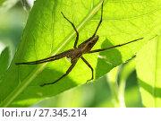 Паук охотится, сидит в засаде на нижней стороне зеленого листа. Пизаура удивительная (Pisaura mirabilis) Стоковое фото, фотограф Щеголева Ольга / Фотобанк Лори