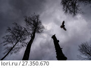 Купить «Ural owl (Strix uralensis)  in flight, viewed from below, Tartu County, Estonia. April. Second Place in the Portfolio category of the Terre Sauvage Nature Images Awards 2017.», фото № 27350670, снято 25 сентября 2018 г. (c) Nature Picture Library / Фотобанк Лори