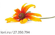 Купить «Flower of Rudbeckia. HD video», видеоролик № 27350794, снято 5 января 2018 г. (c) Parmenov Pavel / Фотобанк Лори