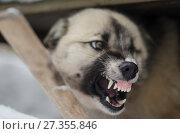 Купить «Агрессия. Бешеная собака», фото № 27355846, снято 28 февраля 2017 г. (c) Яковлев Сергей / Фотобанк Лори