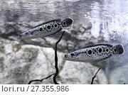 Купить «Змееголов глазчатый, Пятнистый змееголов (Channa pleurophthalma). Две рыбы плавают в аквариуме», фото № 27355986, снято 18 декабря 2017 г. (c) Григорий Писоцкий / Фотобанк Лори