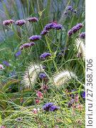 Купить «Pennisetum villosum, Argentinian Vervain.», фото № 27368706, снято 21 сентября 2017 г. (c) age Fotostock / Фотобанк Лори
