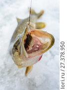 Купить «Just caught Pike with small bait fish in its mouth, ice winter fishing», фото № 27378950, снято 4 января 2018 г. (c) Сергей Дорошенко / Фотобанк Лори