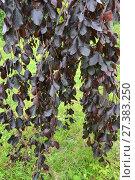 Бук лесной, форма пурпурная плакучая (Fagus sylvatica L., f. Purpurea Pendula), ветки с листьями. Стоковое фото, фотограф Ирина Борсученко / Фотобанк Лори