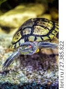 Купить «Red-eared turtle in natural habitat», фото № 27385822, снято 27 сентября 2016 г. (c) Евгений Ткачёв / Фотобанк Лори