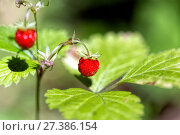Купить «Wild strawberries in the woods», фото № 27386154, снято 10 августа 2014 г. (c) Евгений Ткачёв / Фотобанк Лори