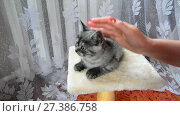 Купить «Female hand strokes a gray kitten of British breed.», видеоролик № 27386758, снято 13 июня 2017 г. (c) Володина Ольга / Фотобанк Лори
