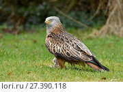 Купить «Red Kite (Milvus milvus)  perched on chicken carcass on garden lawn, Buckinghamshire, England, UK, February», фото № 27390118, снято 17 января 2018 г. (c) Nature Picture Library / Фотобанк Лори