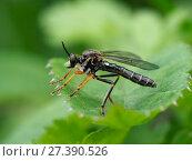 Купить «Common red-legged robberfly (Dioctria rufipes) on leaf waiting to ambush fly prey, Bedfordshire, England, UK, May», фото № 27390526, снято 24 апреля 2018 г. (c) Nature Picture Library / Фотобанк Лори