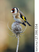 Купить «Goldfinch (Carduelis carduelis) perched on frost covered Teasel (Dipsacus fullonum), Hertfordshire, England, UK, January», фото № 27390554, снято 19 марта 2019 г. (c) Nature Picture Library / Фотобанк Лори