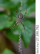 Купить «Underside of Wasp spider (Argiope bruennichi), its web decorated with a zigzag stabilimentum pattern used top attract prey, Vendee, France, July.», фото № 27390782, снято 24 мая 2018 г. (c) Nature Picture Library / Фотобанк Лори