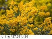 Купить «acacia howittii flowers», фото № 27391426, снято 21 октября 2018 г. (c) Яков Филимонов / Фотобанк Лори