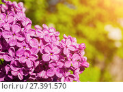 Купить «Цветущая сирень. Весенний цветочный фон», фото № 27391570, снято 15 июня 2017 г. (c) Зезелина Марина / Фотобанк Лори