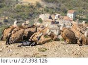 Купить «Griffon vulture (Gyps fulvus) flock on hillside with one interacting with Raven (Corvus corax) Pyrenees, Spain, April.», фото № 27398126, снято 19 августа 2018 г. (c) Nature Picture Library / Фотобанк Лори