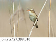 Купить «Sedge warbler (Acrocephalus schoenobaenus) singing, Greylake RSPB Reserve, Somerset Levels, England, UK, May.», фото № 27398310, снято 21 мая 2018 г. (c) Nature Picture Library / Фотобанк Лори