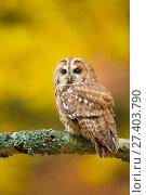 Купить «Tawny owl (Strix aluco) perched on branch, UK. Captive.», фото № 27403790, снято 25 сентября 2018 г. (c) Nature Picture Library / Фотобанк Лори
