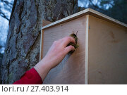 Becky Priestley, Wildlife Officer with Trees for Life, removing moss from hole in transit box containing Red squirrel (Sciurus vulgaris). Translocation... Редакционное фото, фотограф SCOTLAND: The Big Picture / Nature Picture Library / Фотобанк Лори