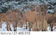 Купить «Barbary sheep (Ammotragus lervia)», видеоролик № 27408918, снято 28 декабря 2017 г. (c) BestPhotoStudio / Фотобанк Лори