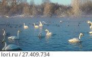 Купить «Swans on lake in the morning mist at early morning», видеоролик № 27409734, снято 18 марта 2016 г. (c) Serg Zastavkin / Фотобанк Лори