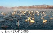 Купить «Swans on lake in the morning mist at early morning», видеоролик № 27410086, снято 18 марта 2016 г. (c) Serg Zastavkin / Фотобанк Лори