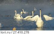 Купить «Swans on lake in the morning mist at early morning», видеоролик № 27410278, снято 18 марта 2016 г. (c) Serg Zastavkin / Фотобанк Лори