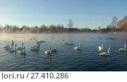 Купить «Swans on lake in the morning mist at early morning», видеоролик № 27410286, снято 19 марта 2016 г. (c) Serg Zastavkin / Фотобанк Лори