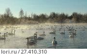 Купить «Swans on lake in the morning mist at early morning», видеоролик № 27410310, снято 19 марта 2016 г. (c) Serg Zastavkin / Фотобанк Лори