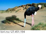 Купить «Afrikanischer strauss, struthio camelus, ostrich», фото № 27451194, снято 24 января 2018 г. (c) age Fotostock / Фотобанк Лори