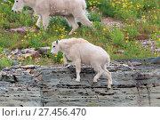 Купить «Schneeziege Mountain Goat Glacier National Park», фото № 27456470, снято 23 марта 2019 г. (c) age Fotostock / Фотобанк Лори