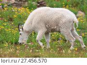 Купить «Schneeziege Mountain Goat Glacier National Park», фото № 27456570, снято 23 марта 2019 г. (c) age Fotostock / Фотобанк Лори