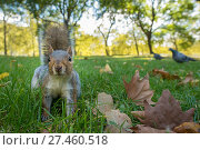 RF - Grey Squirrel (Sciurus carolinensis), low angle view, St James Park, London, (This image may be licensed either as rights managed or royalty free.) Стоковое фото, фотограф Edwin Giesbers / Nature Picture Library / Фотобанк Лори