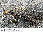 Купить «varan reptile», фото № 27463146, снято 7 января 2018 г. (c) Михаил Коханчиков / Фотобанк Лори