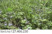 Купить «Forget-me-not. A background from many beautiful Myosotis arvensis», видеоролик № 27466230, снято 23 ноября 2009 г. (c) Куликов Константин / Фотобанк Лори