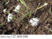 Купить «Carnation needle-leaf. Dianthus acicularis Fisch. ex Ledeb», фото № 27469046, снято 23 июня 2013 г. (c) Евгений Ткачёв / Фотобанк Лори