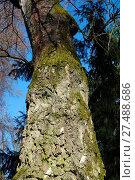 Купить «Betula pubescens, Swamp Birch», фото № 27488686, снято 23 марта 2019 г. (c) age Fotostock / Фотобанк Лори