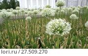 Купить «Allium stipitatum, Persian shallot», видеоролик № 27509270, снято 8 июня 2017 г. (c) BestPhotoStudio / Фотобанк Лори